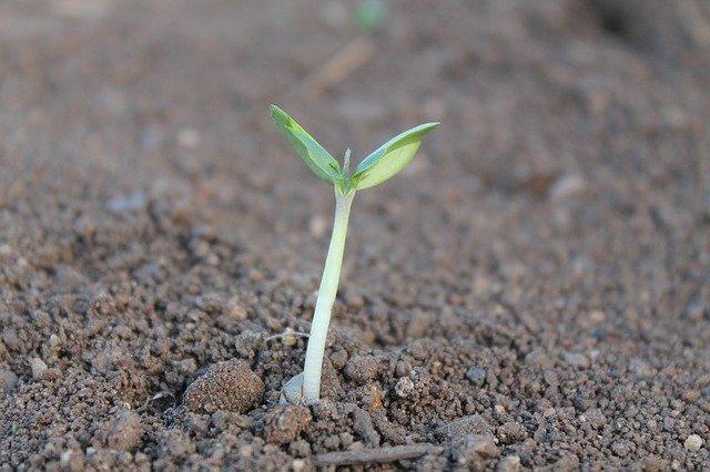klíček dvouděložné rostliny